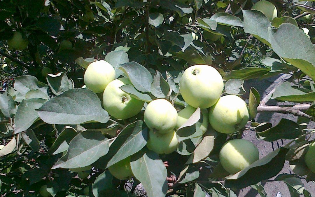 Зачем люди выращивают яблони в саду?