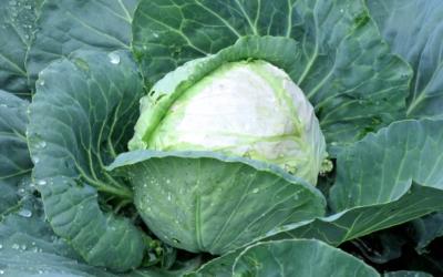 Как удобрять капусту