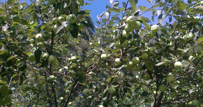 "фото яблони ""Белый налив"""