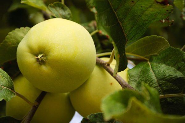 Показ описываемого сорта яблони.