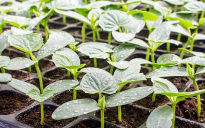 Выращивание рассады овощных культур.