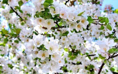 Весенне-летний уход за фруктовым деревом яблоня.