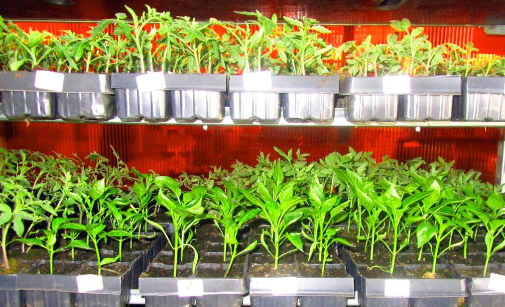 Многоярусное выращивание рассады овощных культур.