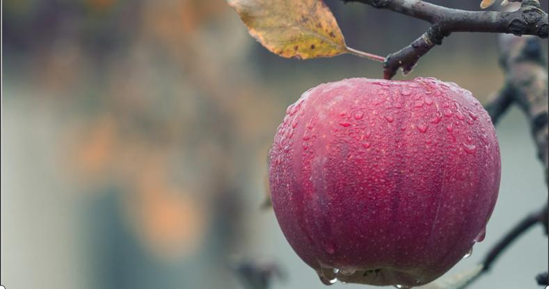 Осенний уход за фруктовым деревом яблоня.