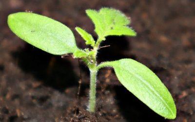 Выращивание рассады томатов. (Часть 1)