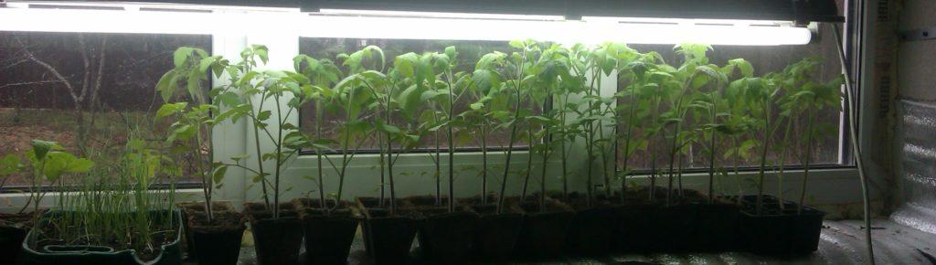 Дополнительное освещение большой рассады томатов  лампами дневного света.