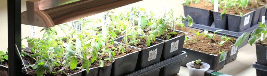 Дополнительное освещение рассады томатов лампами дневного света. Расстояние до рассады 5-10 см.