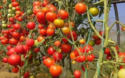 Уход за высаженной рассадой томатов.