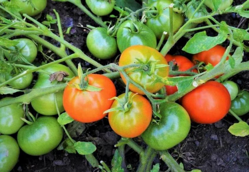 Показ супердетерминантных сортов томатов.