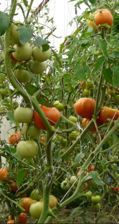 Показ индетерминантных сортов томатов.