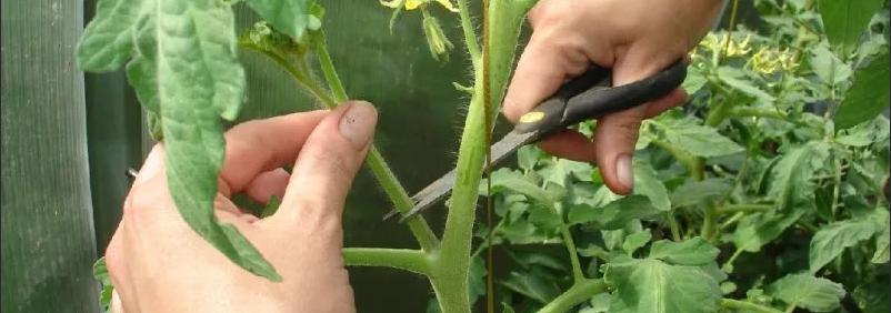 Пасынкование томатов.