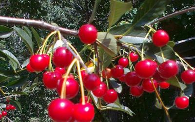 Плодовая культура вишня.