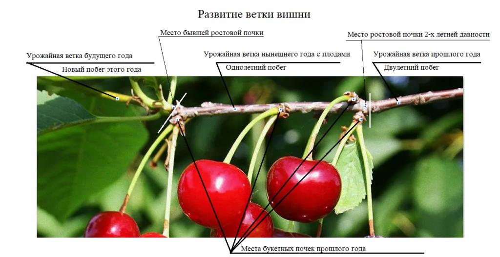 Схема развития ветки вишни.