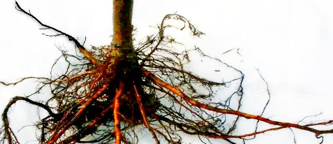 Показана корневая система вишни.