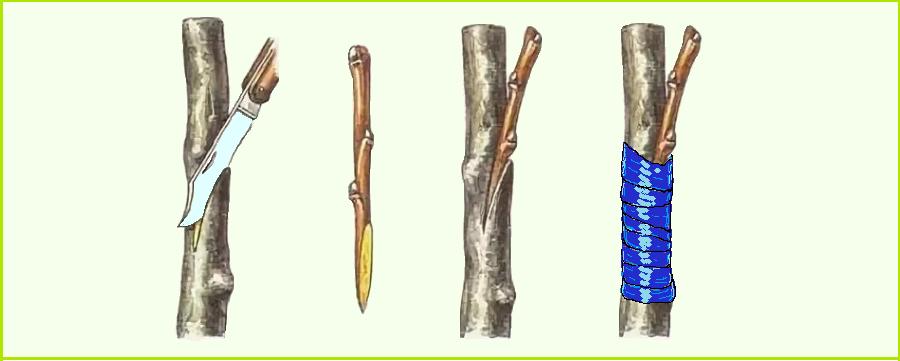 Схема выполнения размножения вишни прививкой с боковым зарезом.