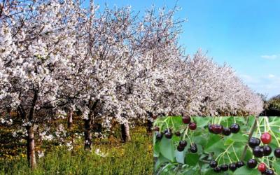 Размножение вишни.