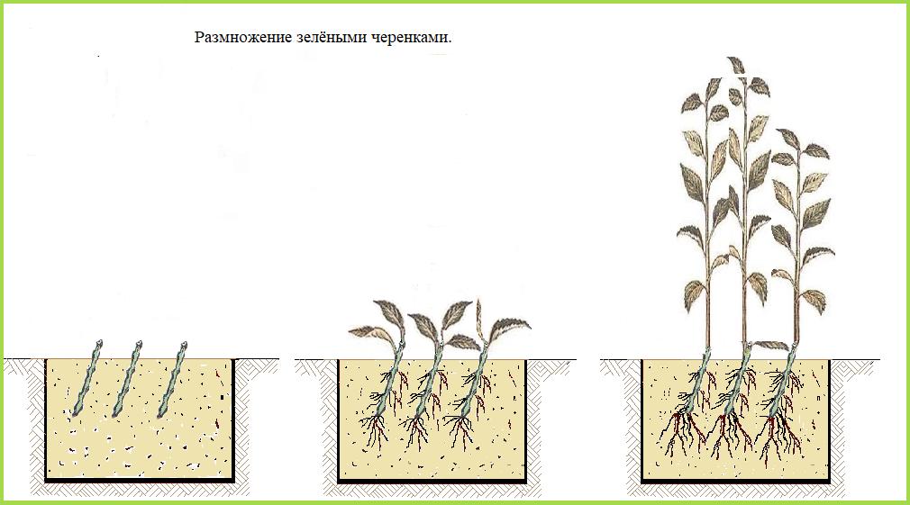 Схема размножения вишни зелёными черенками.