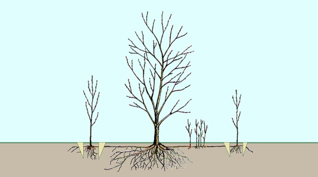 Выбор корневого отпрыска при размножении вишни.