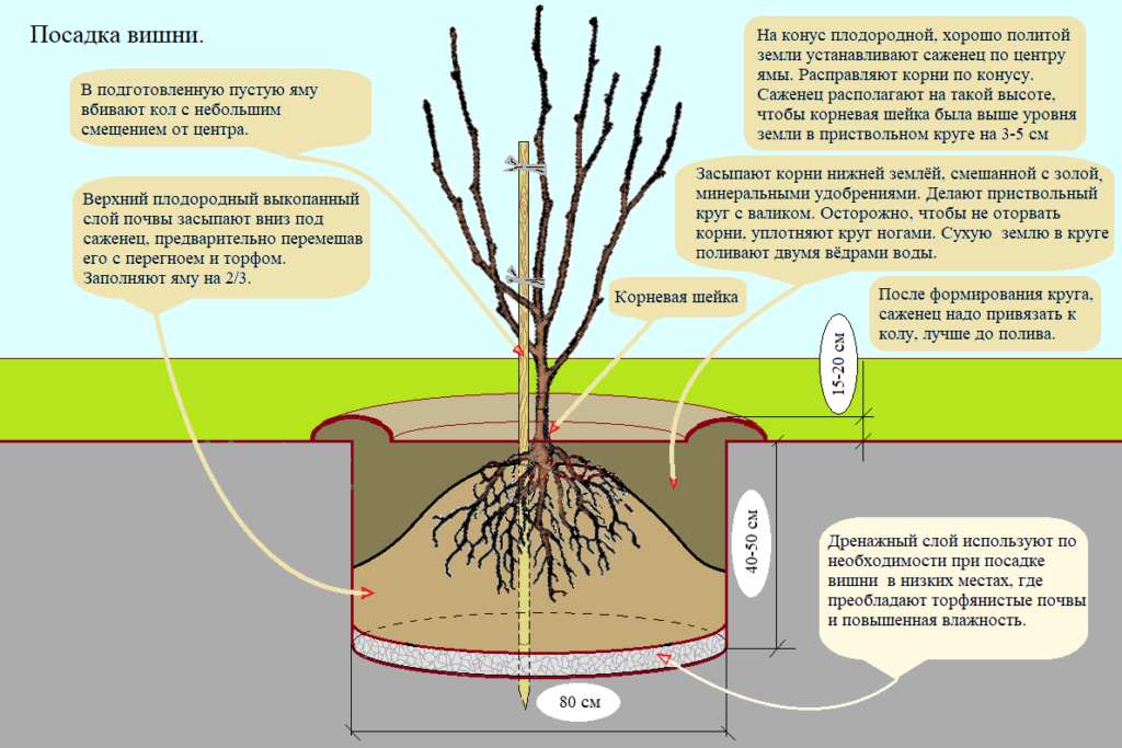 Схема процесса посадки вишни.