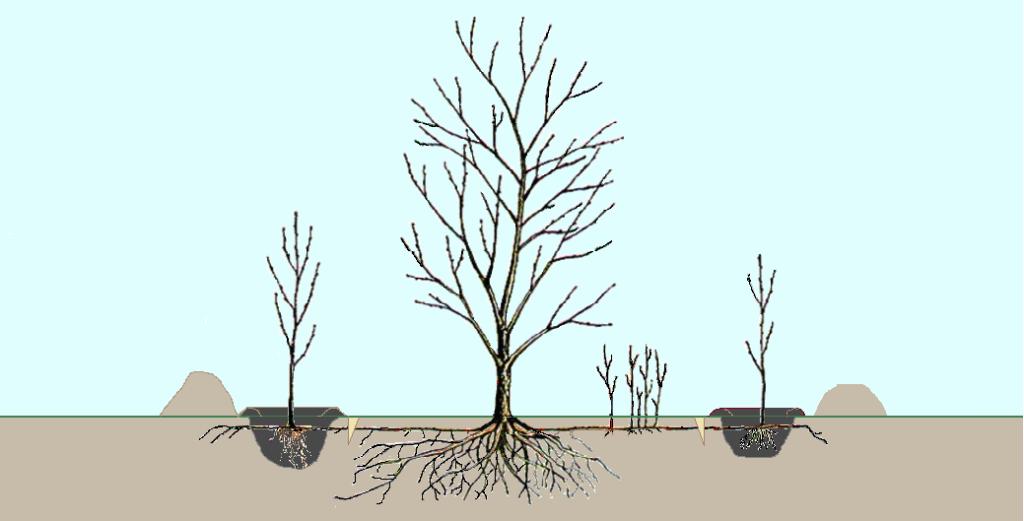 Замена почвы под вишнёвыми отпрысками и отделение от материнского корня